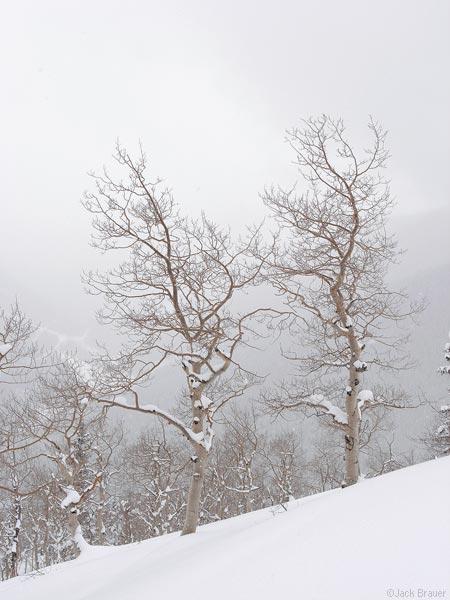 Aspen in a snow storm