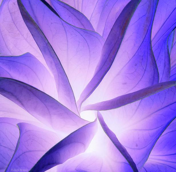 illuminescent plant