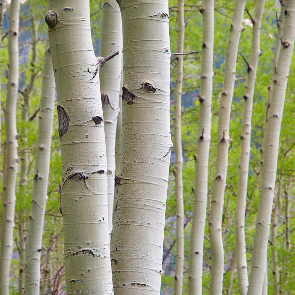 Green Aspens closeup