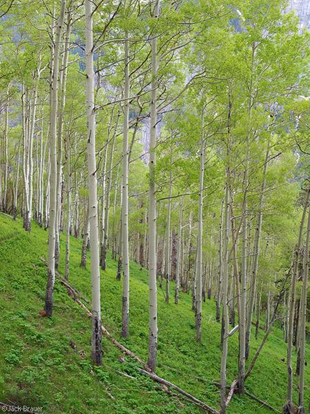 Green Aspens