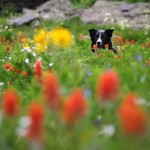 Dog in Wildflowers