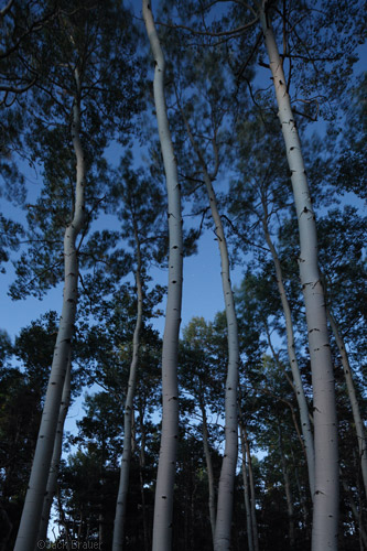 aspens after dark