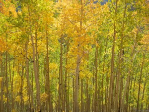 Yellow and green aspen trees