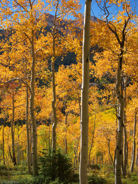 Orange aspens near Red Mountain Pass, Colorado