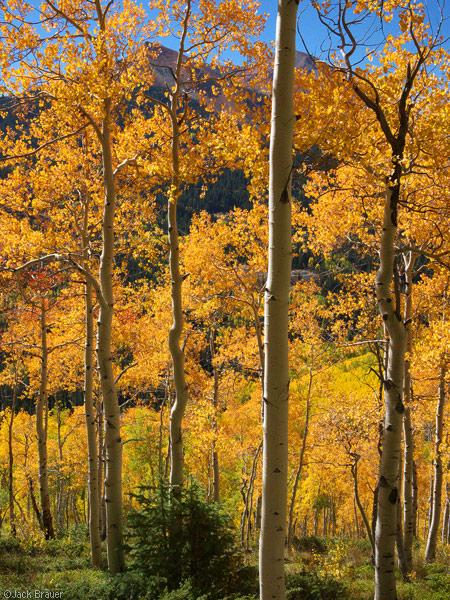 Orange aspens near Red Mountain Pass, Colorado
