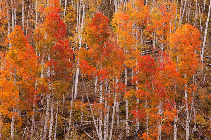 Dallas Divide aspens, Colorado