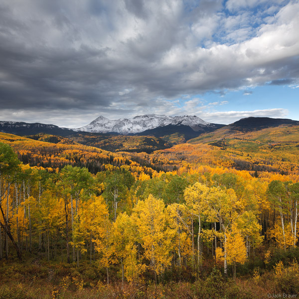 yellow aspens, Colorado