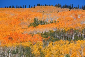 orange aspens on Grand Mesa, Colorado