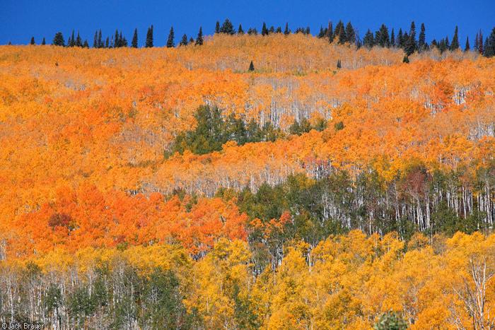 orange aspens on Grand Mesa, Colorado