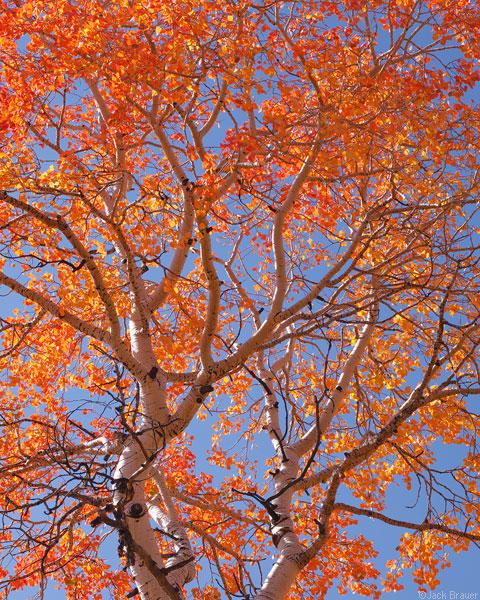 red aspen tree