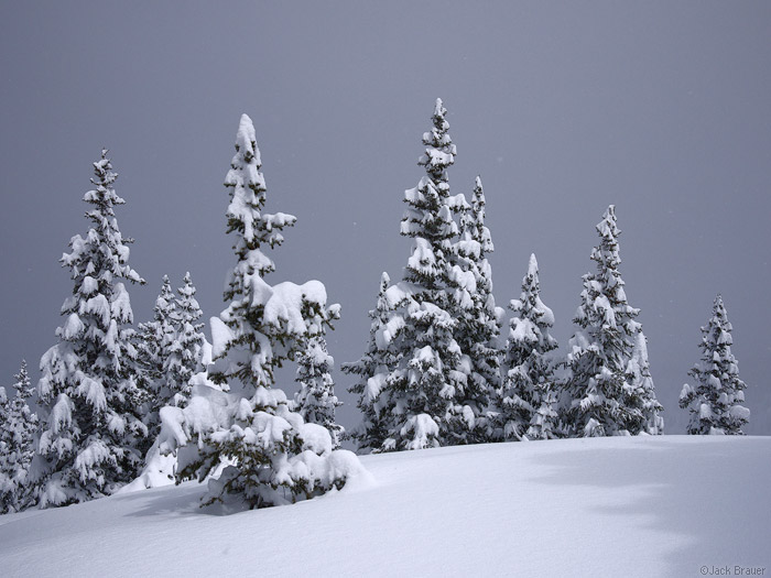 Snowy pine trees, Colorado