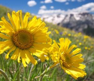 Wildflowers on Hayden Mountain, Colorado