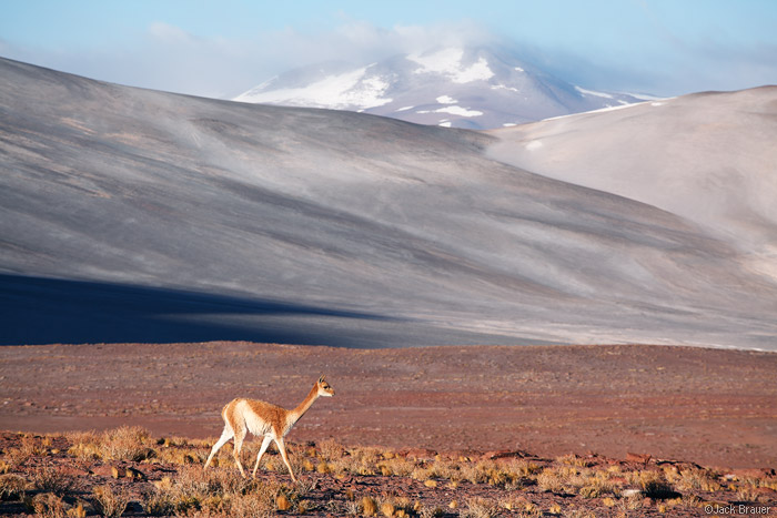 Vicuña at Salar de Aguas Calientes, northern Chile.