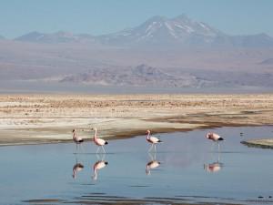 Flamingos at Lugana Chaxa, Los Flamencos National Reserve, Chile