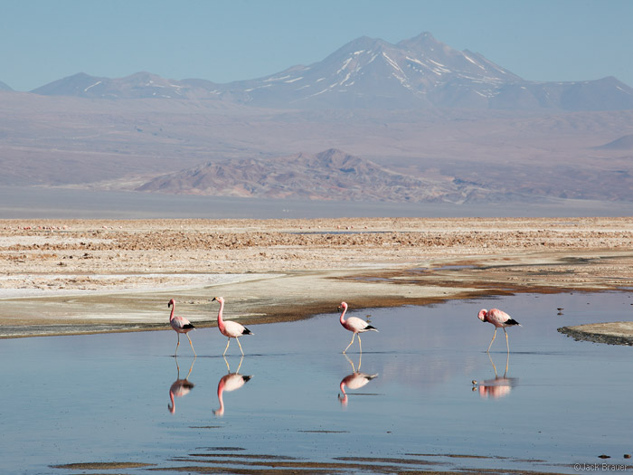Flamingos at Lugana Chaxa, Los Flamencos National Reserve, Chile