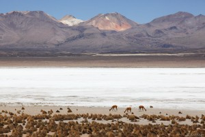 Vicuñas at Salar de Surire, Chile