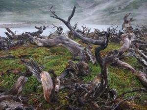 Beaver damage on Isla Navarino
