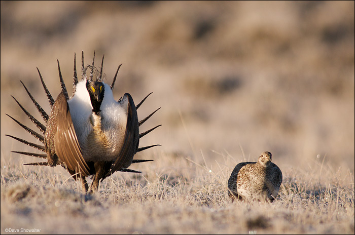 Greater Sage Grouse on Lek