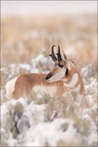 Pronghorn Buck in Snow