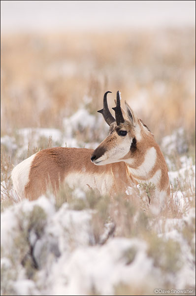 Pronghorn Buck in Snow