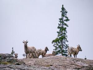 Bighorn sheep in the Sangre de Cristos, Colorado