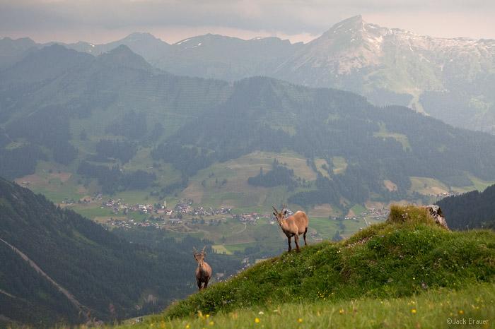 Steinbock above Mittelberg, Austria
