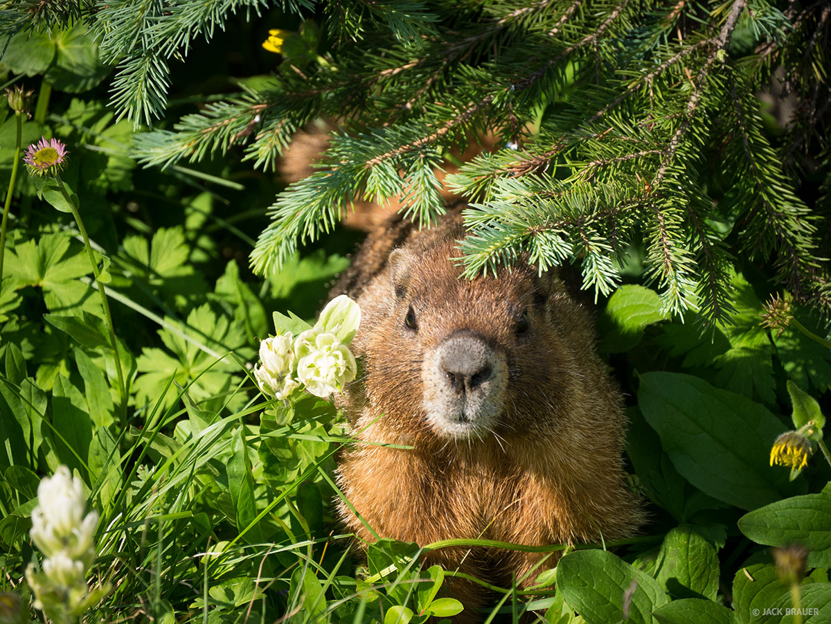 marmot in the bushes